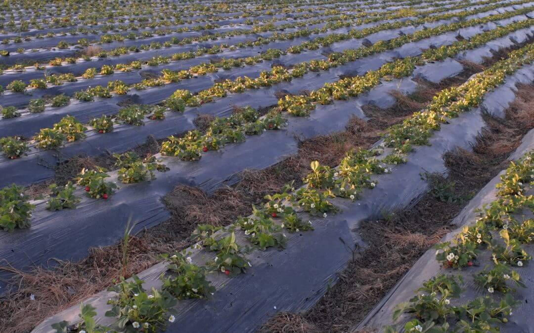 Aumenta un 11% la superficie plantada de frutos rojos para la campaña de 2018