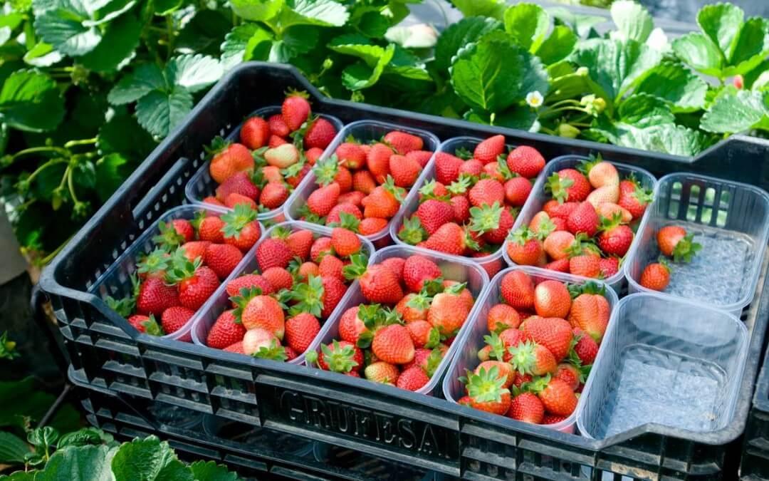 Las elevadas temperaturas adelantan el inicio de la campaña de la fresa