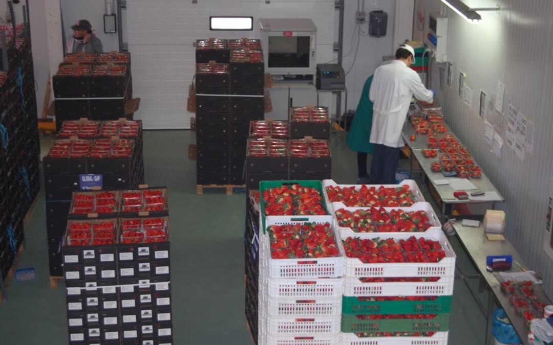 El sector fresero culmina la campaña con una producción de 288.660 toneladas y un aumento del 20,7% en la facturación