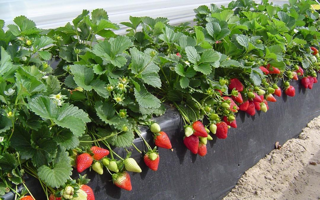 Jornada sobre los retos de la producción de fresas y berries en Huelva en Fresón de Palos