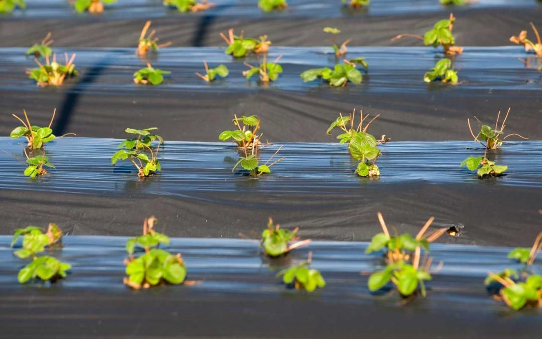 Descenso cercano al 10% en la superficie de fresa para 2015