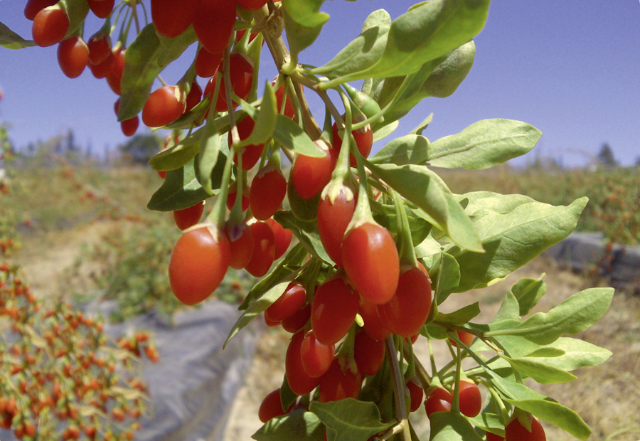 Gojivital-goji-berries